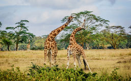 Giraffe couple cuddling with each other in Kenya, Africa Royalty Free Stock Images