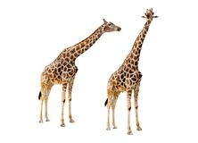 Giraffe couple cutout Royalty Free Stock Photography
