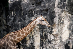 Giraffe couple Royalty Free Stock Photography