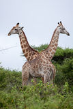 Giraffe couple Stock Image