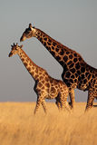 Giraffe couple walking through yellow grasslands Stock Photo
