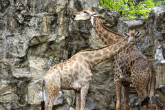 Giraffe couple Stock Images