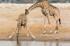 Giraffe cow and bull at waterhole Royalty Free Stock Photo