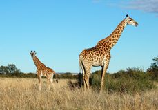 Giraffe cow and calf in Africa. Female Giraffe with her calf in the savanna of South Africa Royalty Free Stock Photo