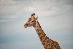 Giraffe. Giraffe in the crimean zoo Stock Image
