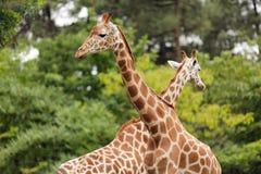 Giraffe crossing Royalty Free Stock Image