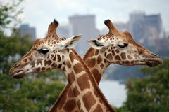 Giraffe crossing. Two giraffes at Taronga zoo, Sydney Royalty Free Stock Photos