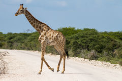 Giraffe crossing gravel road Royalty Free Stock Photography
