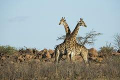 Giraffe crossing necks Royalty Free Stock Images