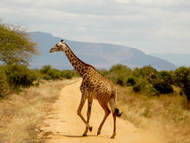 Giraffe crossing the road Royalty Free Stock Photography