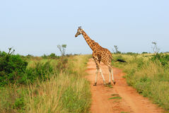 Giraffe is crossing a road in the african savannah Royalty Free Stock Photography