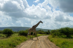 Giraffe crossing road in Kruger national park Stock Image