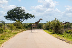 Giraffe crossing road in Kruger national park Stock Photo