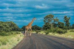 Giraffe crossing the road, Kruger National Park, South Africa royalty free stock photos