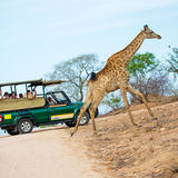Giraffe Crossing Road in Kruger National Park Stock Photos