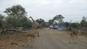 Giraffe crossing the road. Wildlife Safari in the Kruger National Park, major travel destination in South Africa