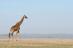 Giraffe crossing the savanna. Stock Image
