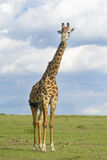 Giraffe crossing savanna Royalty Free Stock Image