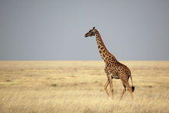 Giraffe crossing the Serengeti plains, Tanzania Royalty Free Stock Image