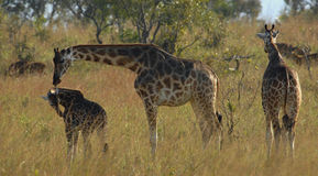 Giraffe with cub. Royalty Free Stock Photography