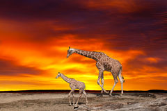 Giraffe and a cub Royalty Free Stock Photography