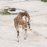 Giraffe with cub resting at waterhole Royalty Free Stock Image