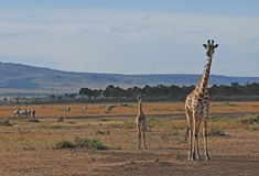 Giraffe with cub - Serengeti (Tanzania, Africa) Stock Images