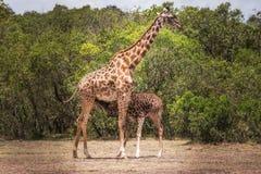 Giraffe cub who drinks milk stock image