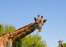 Giraffe curieuse Photo libre de droits