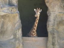 Giraffe curieuse Photographie stock libre de droits