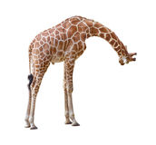 Giraffe curiosity cutout. Giraffe curiosity pose isolated on white background For more isolated fauna species please visit my collection stock photo
