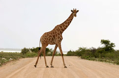 Giraffe Curiously Looking Stock Images