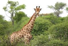 Giraffe curiously looking Stock Image