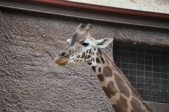 Giraffe. A cute giraffe with a huge neck posing Stock Image