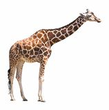 Giraffe cutout. African giraffe isolated on white with clipping path Royalty Free Stock Photos