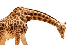 Giraffe d'isolement Photographie stock