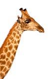 Giraffe d'isolement sur le fond blanc Image stock