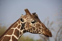 Giraffe dans Kenia Images libres de droits