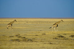 Giraffe dans la savane Photos stock