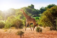Giraffe dans la savane Photographie stock