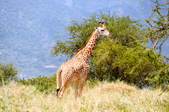 Giraffe dans la savane africaine Photos libres de droits