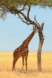Giraffe dans le masai Mara Photo libre de droits
