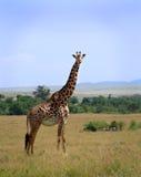 Giraffe dans le masai Mara Photo stock