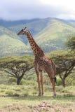Giraffe dans le Serengeti Photos libres de droits
