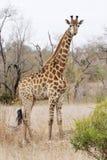 Giraffe dans le thornveld sec Photos stock