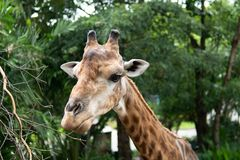 Giraffe dans le zoo photographie stock