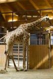 Giraffe dans le zoo Image libre de droits