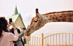 Giraffe dans le zoo Photographie stock