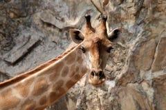Giraffe dans le zoo de dusit images libres de droits