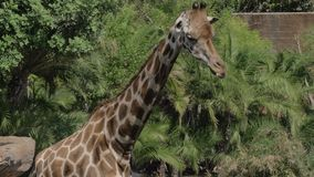 Giraffe dans le zoo banque de vidéos